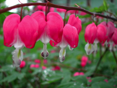 All, Flowers, Closeup, bleeding heart, Spring flowers, Canada, Kingston
