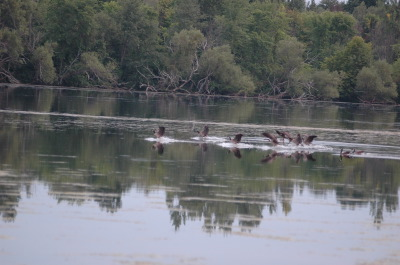 All, Birds, Flying, Canada Geese, Action, Canada, Ontario