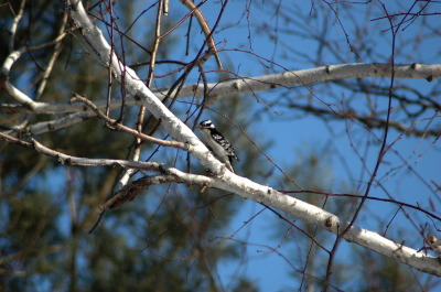 All, Birds, woodpecker, Canada, Ontario, Glenbernie