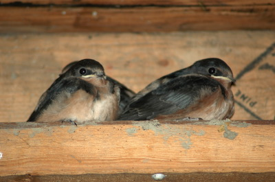 All, Birds, Swallows, Canada, Ontario, Glenbernie